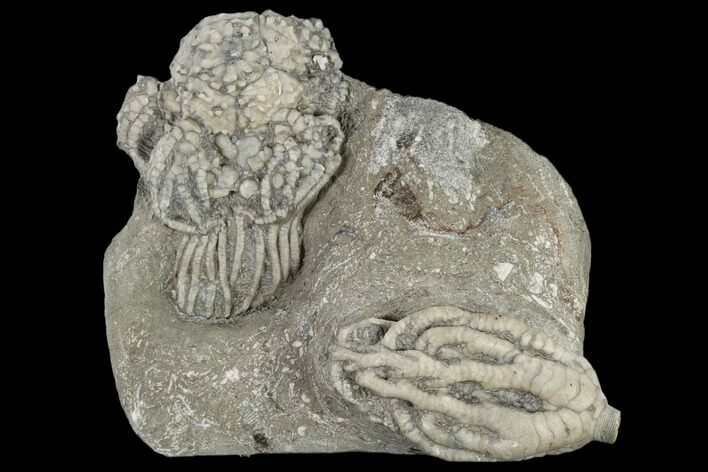 Two Fossil Crinoids (Onychocrinus And Platycrinites) - Indiana